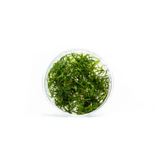 Cryptocoryne Parva Tissue Culture (Mini)