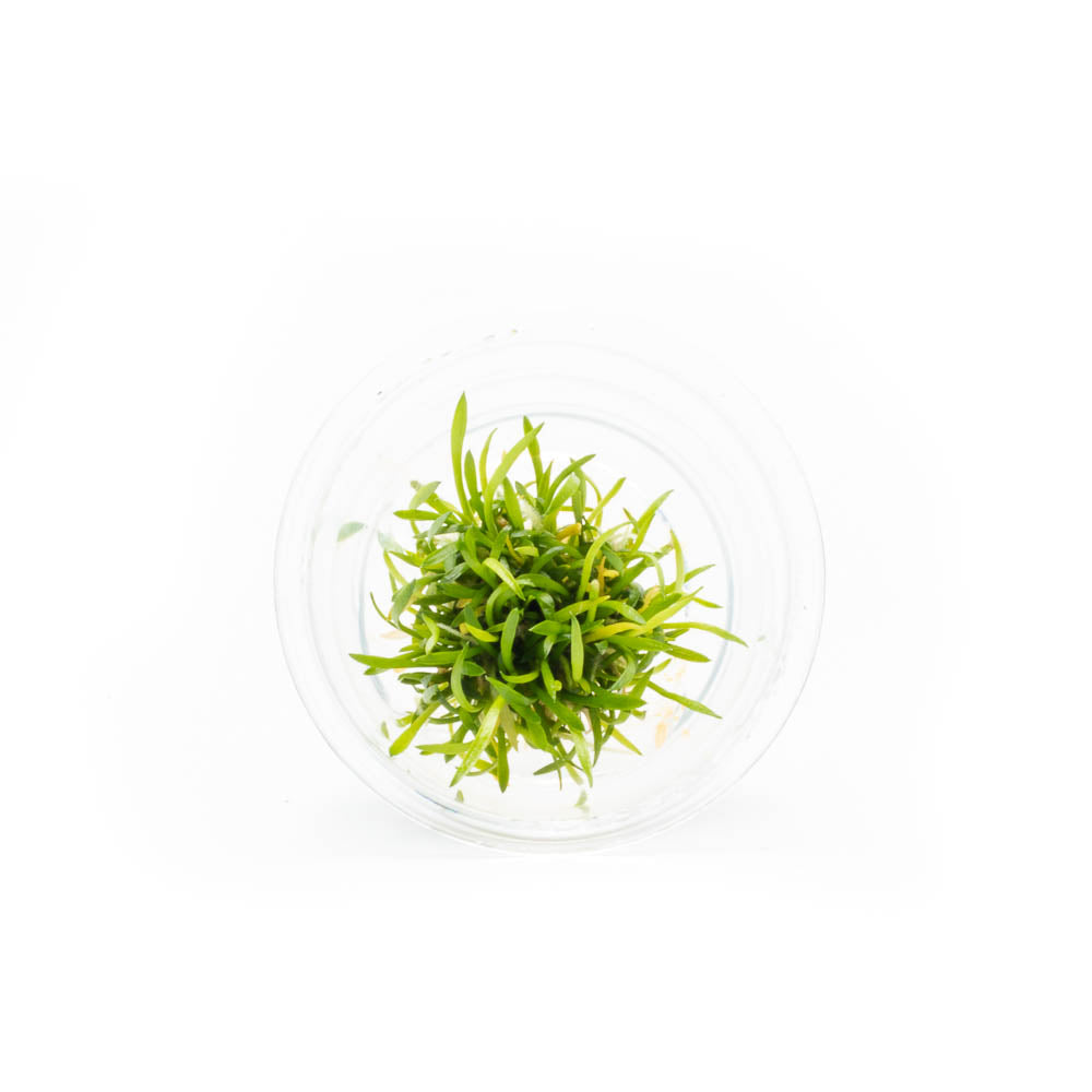 Cryptocoryne Parva Tissue Culture (Small Cup)