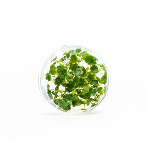 Hydrocotyle Sibthorpioides UNS Tissue Culture