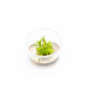 Pogostemon Erectus Tissue Culture