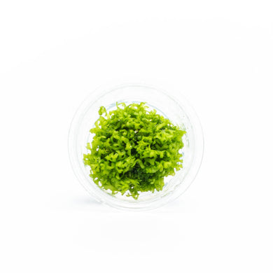 Riccia Fluitans Tissue Culture (Small Cup)