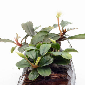 Bucephalandra Mix on Driftwood