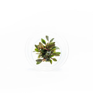 Bucephalandra Red Mini UNS Tissue Culture
