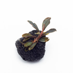 Bucephalandra Red Mini on Lava Stone