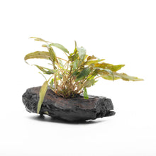Cryptocoryne on Driftwood