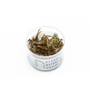 Cryptocoryne Wendtii Brown UNS Tissue Culture