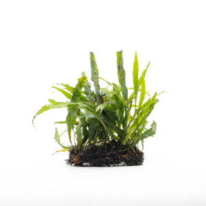 Microsorum pteropus Java Fern Narrow Mat