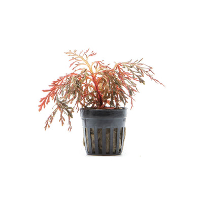 Selaginella Erythropus Red