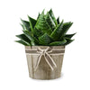 Toronto Same Day Flower Delivery - Toronto Flower Gifts - Plant Gifts - Aloe Vera