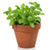 Kitchen Secrets Collection - Basil Plant