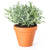 Soothing August Lavender Plant
