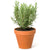 Kitchen Secrets Collection - Rosemary Plant