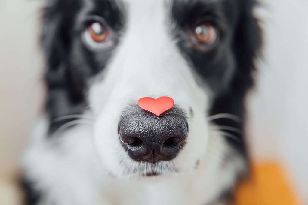 dog with a heart on his nose depicting health