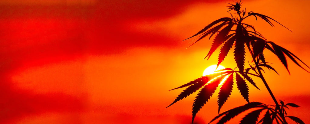 sunset behind hemp cbd plant