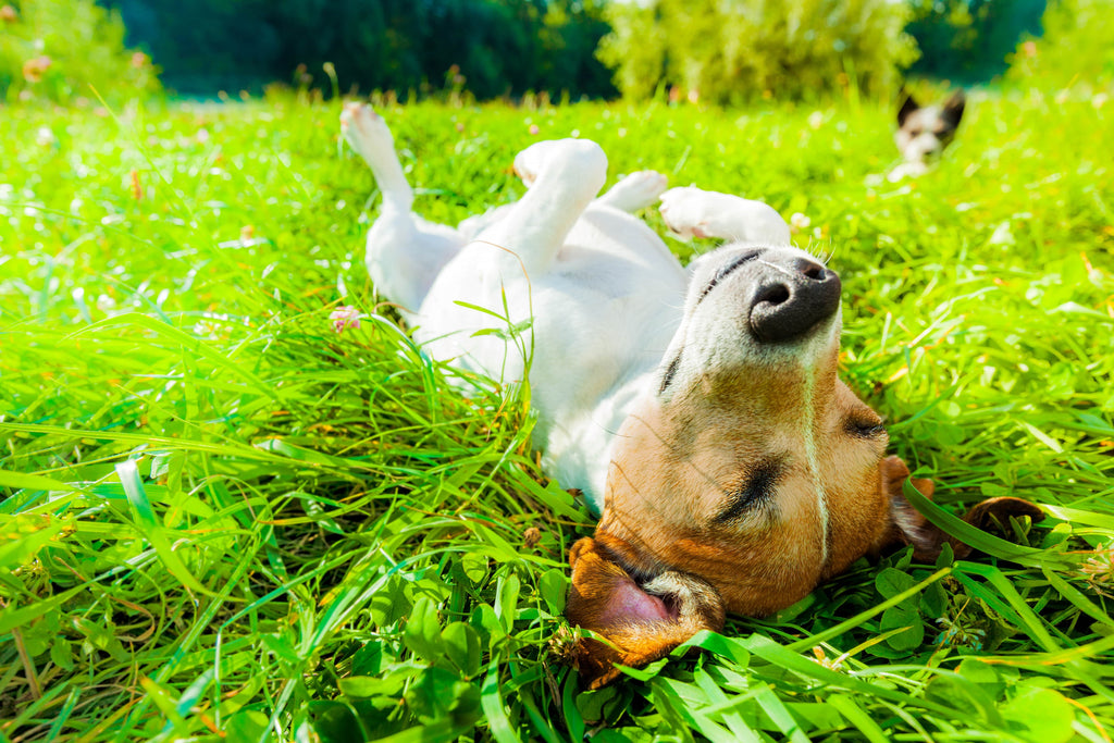 dog relaxing in the park