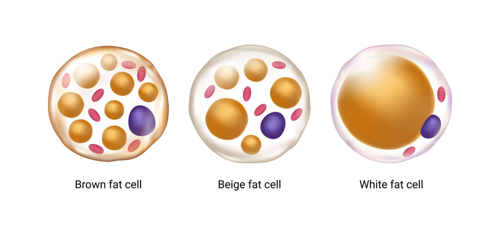showing the difference between white and brown fat cells