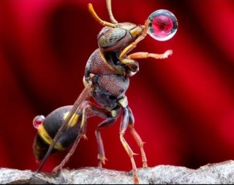 Wasp blowing bubble made of water droplet Pic credit Lim Choo How