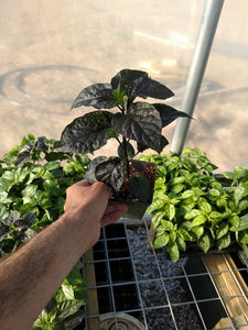 Live Plant - Bhut Orange Copenhagen