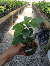 Load image into Gallery viewer, Live Plant - Habanero Franciscan
