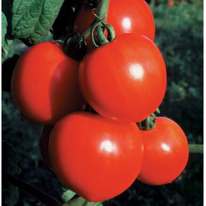 "Live Plant - Tomato - New Girl (2"" Deep Cell Plug)"
