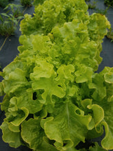 Load image into Gallery viewer, Certified Organic Romaine Lettuce, 1 dozen heads restaurant pack