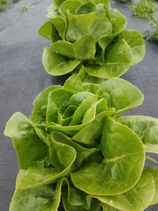 Certified Organic Romaine Lettuce (1 head)