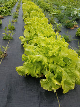 Load image into Gallery viewer, Certified Organic Romaine Lettuce (1 head)