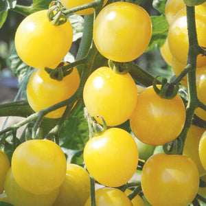"Live Plant - Tomato - White Cherry (2"" Deep Cell Plug)"