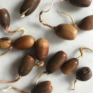 Germinated Acorn - Ilex Studio