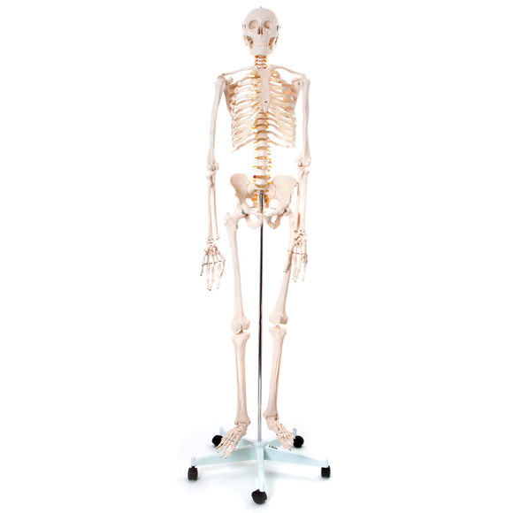 66fit Human Skeleton On Stand - 170cm
