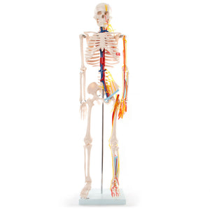 66fit Skeleton With Nerves and Blood Vessel - 85cm