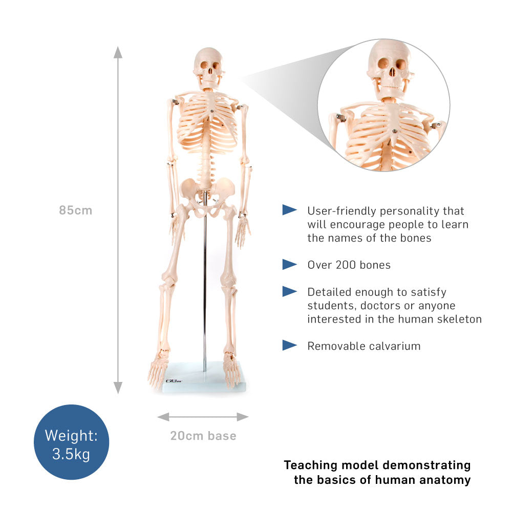 66fit Medium Anatomical Skeleton Model - 85cm – 66fit UK