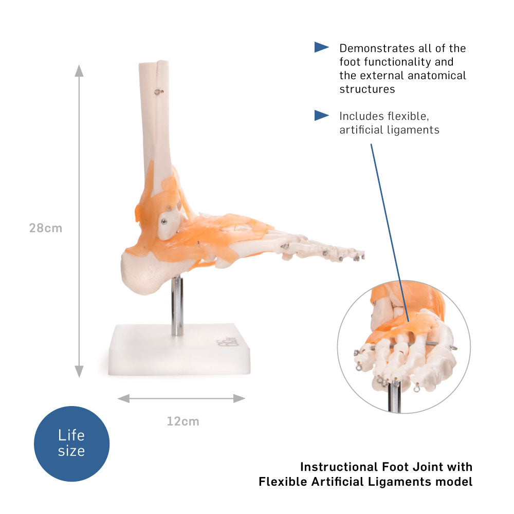 66fit Foot Joint With Ligaments Anatomical Model 66fit Uk