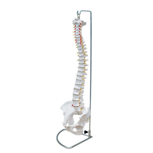 66fit Anatomical Flexible Vertebral Column With Pelvis