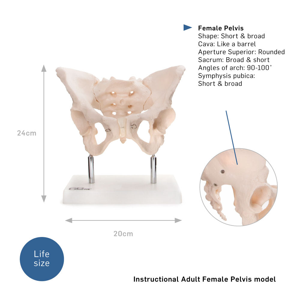 66Fit Adult Female Pelvis Anatomical Model  66Fit Uk-8245