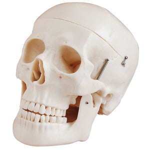 66fit Deluxe Life Size Human Skull Anatomical Model