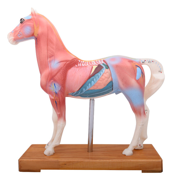 66fit Horse Acupuncture Model