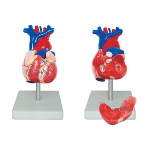 66fit Life Size Heart Model
