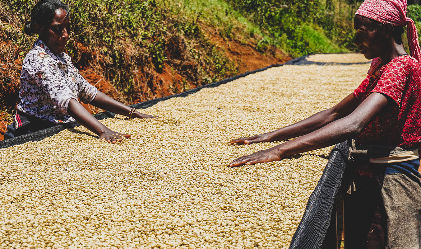 Two women in Kenya sorting drying coffee beans