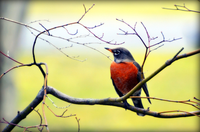 Red bird on a branch against yellow background