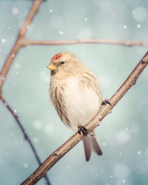 Female Redpoll Bird in Snow