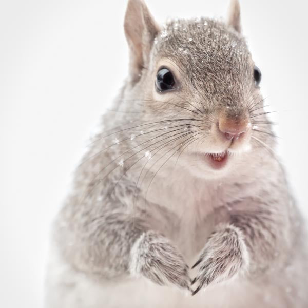Fine art photography print of a cute grey squirrel in snow