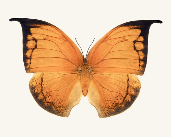 Fine art photography print of Anaea archidona, the orange leafwing butterfly