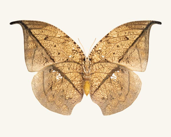 Fine art photography print of a leafwing butterfly Anaea archidona