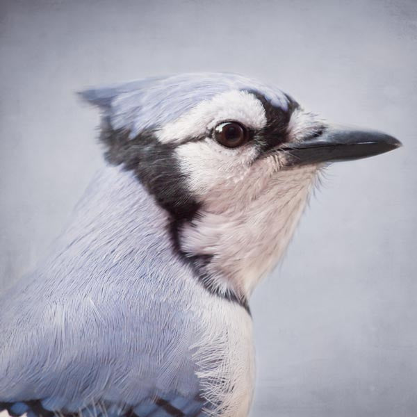Fine art bird portrait photography print of a blue jay