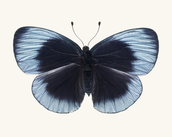 Fine art photography print of a blue Charles Darwin butterfly