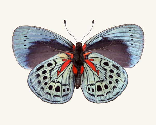 Fine art photography print of a colorful Charles Darwin butterfly, Callithea philotima