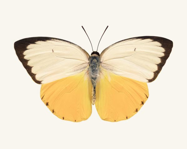Fine art photography print of an orange migrant butterfly, Catopsilia scylla