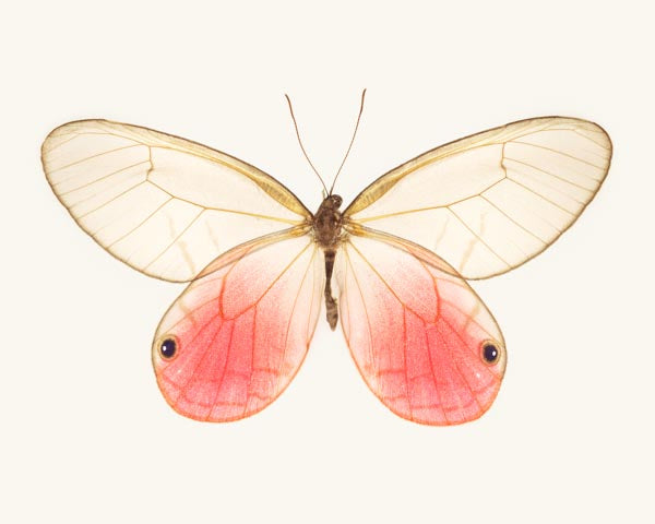 Fine art photography print of a pink glasswing butterfly, Cithaerias Aurorina