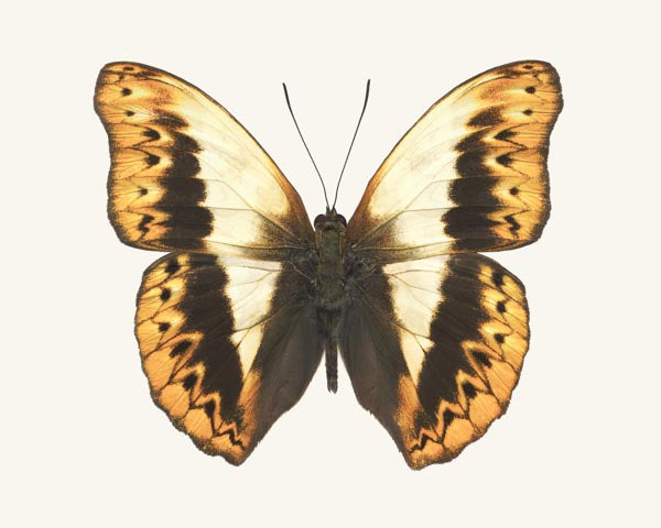 Fine art photography print of a brown and yellow Herminia Glider butterfly